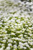 Background of many small white flowers in the meadow. Macro image with small depth of field Stock Photos