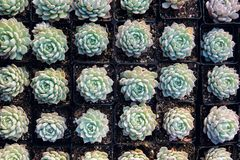 Succulent plant. The background of many succulent plants Stock Image