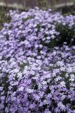 Many violet and purple flowers Royalty Free Stock Photography