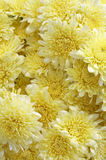 Background from many yellow flower stock photography