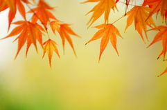 Background maple Stock Photography
