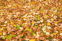 Background with maple autumn leaves in autumn park. Outdoor autu. Mn concept Royalty Free Stock Photos