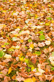 Background with maple autumn leaves in autumn park. Outdoor autu. Mn concept Royalty Free Stock Photo