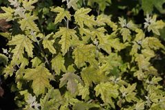 Background of maple green foliage leaves stock photo