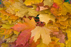 Background of maple leaves Stock Images