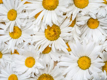 Background of marguerite flowers Royalty Free Stock Photos