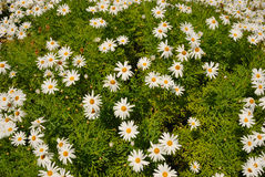 Background marguerites Stock Images