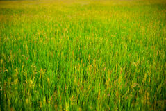 Background of meadow. Background of green meadow in spring Stock Photography