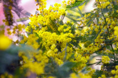 Background of mimosa Stock Images