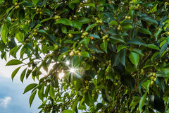 Background with Morning sun Shining through leaves Stock Photo