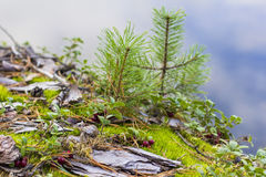 background  moss and small pine on the cliff above the river Stock Images