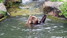 brown bear eating in the water stock video
