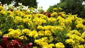 Background of motley, bright garden flowers. Move the camera along. stock footage