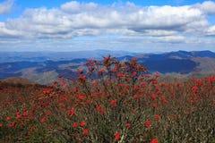 Background Mountain Ash Blue Ridge North Carolina Royalty Free Stock Images