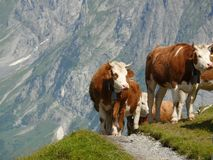 Cows grazing on a green hill stock photos