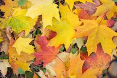 Background of multi-colored fallen maple leaves. Autumn, outdoor Stock Photo