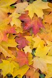 Background of multi-colored fallen maple leaves. Autumn, outdoor Royalty Free Stock Photo