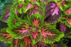 Background of multi-colored leaves of Coleus coloblase against the background of other plants royalty free stock image