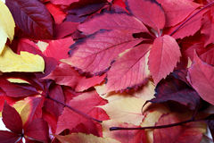 Background of multicolor autumn leafs Stock Images