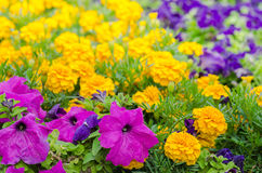 Background of multicolored flowers in summer Stock Photo