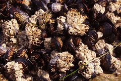 Background of mussels and barnacles exposed at low tide Royalty Free Stock Photos