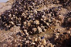 Background of mussels and barnacles exposed at low tide Stock Photos