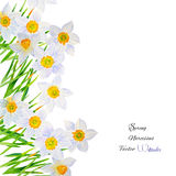 Background with Narcissuses-04 Royalty Free Stock Photography