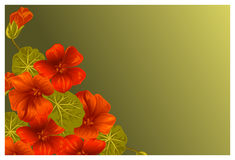 Background with nasturtium for design cards and invitations. Garden orange flower Royalty Free Stock Images