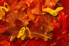 Background of natural autumn red leaves Royalty Free Stock Photos