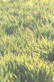 Background of natural new green grass Royalty Free Stock Photos