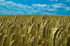 Background natural Wheat field golden with sky. Background image Golden wheat field with beautiful sky Stock Photo