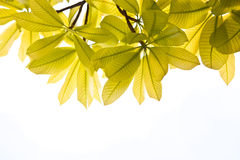 Background Nature green leaves. Nature green leaves on white background Royalty Free Stock Images