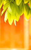 Background Nature green leaves. Nature green leaves with orange background Royalty Free Stock Image