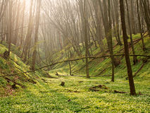 Background of nature spring blooming forest at sunrise Royalty Free Stock Images