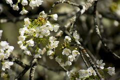 Nature. Flowers of fruit trees. Blossom royalty free stock photography