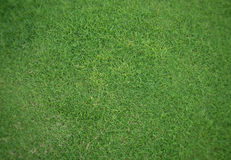 Background of the neat green grass. Up view Stock Images
