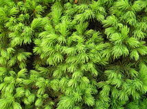 Background - Norway spruce Stock Photo