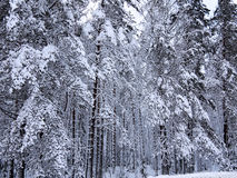 Background of a number snow-covered fir trees and pines of dark winter forest Royalty Free Stock Photos