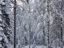 Background of a number snow-covered fir trees and pines of dark winter forest Stock Photos