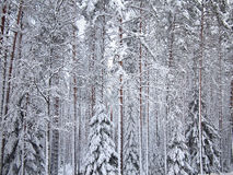 Background of a number snow-covered fir trees and pines of winter forest in frosty mist Stock Photos