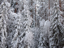Background of a number snow-covered fir trees of winter forest in frosty mist Royalty Free Stock Photography