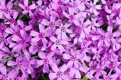 Background with numerous small pink phlox subulata flowers 02 royalty free stock photos