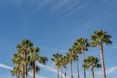 Background with numerous Washingtonia fan palm trees set against a bright blue sky. Copy space, horizontal aspect Stock Photos