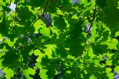 Background of oak branches with green foliage Stock Photo