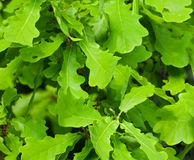 Background of oak leaves Stock Images