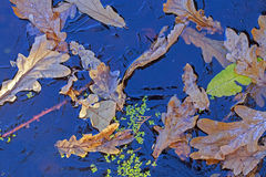Background. Oak leaves and duckweed under the ice Stock Photo