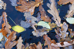 Background. Oak leaves and duckweed under the ice. Stock Images