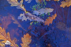 Background. Oak leaves and duckweed under the ice. Royalty Free Stock Image