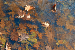 Background . Oak leaves on the ice. Stock Photos