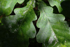 Background of oak leaves. After rain Stock Images